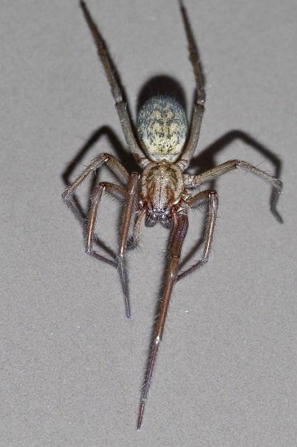 pająk kątnik domowy