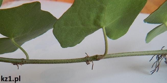 korzenie przybyszowe bluszcz
