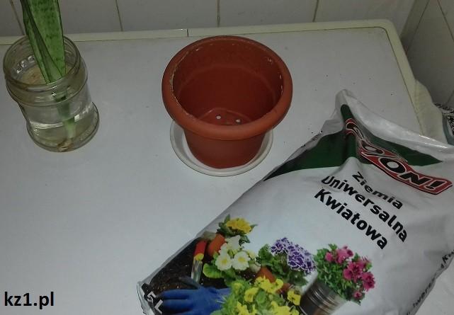 przygotowanie do rozsadzenia sansewierii gwinejskiej