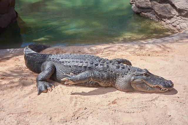 aligator wychodzący z wody