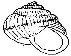Ślimak zaroślowy Arianta arbustorum