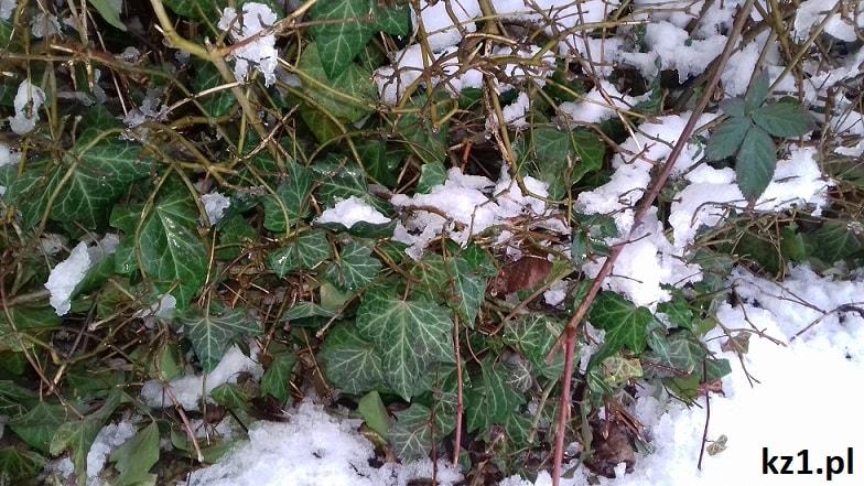 bluszcz pospolity ze śniegiem