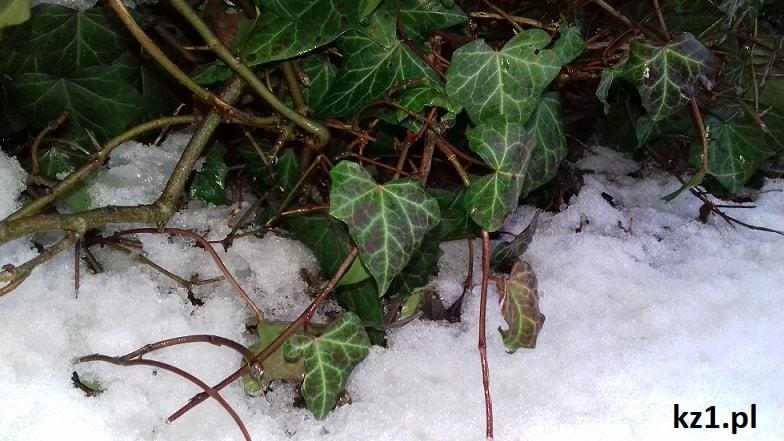bluszcz pospolity w czasie zimy