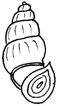 ślimak bulinus tentaculatus
