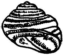 Wstężyk gajowy, ślimak gajowy Cepaea nemoralis