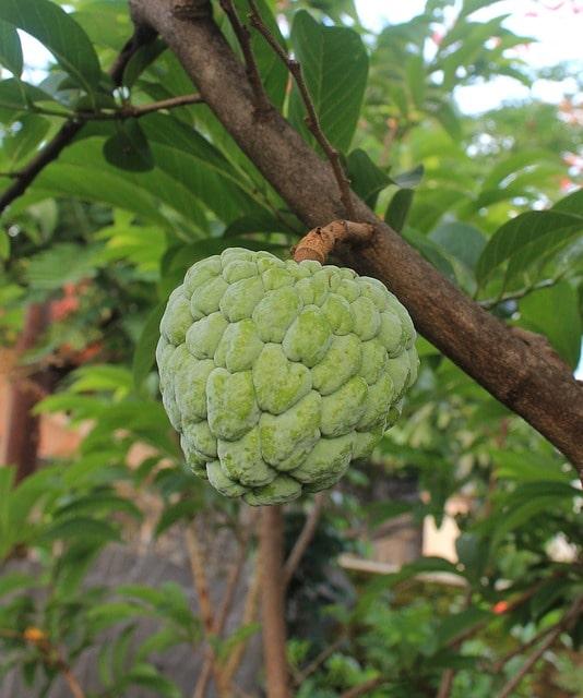 flaszowiec  peruwiański cherimoya