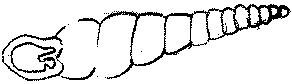 Świdrzyk lśniący Cochlodina laminata