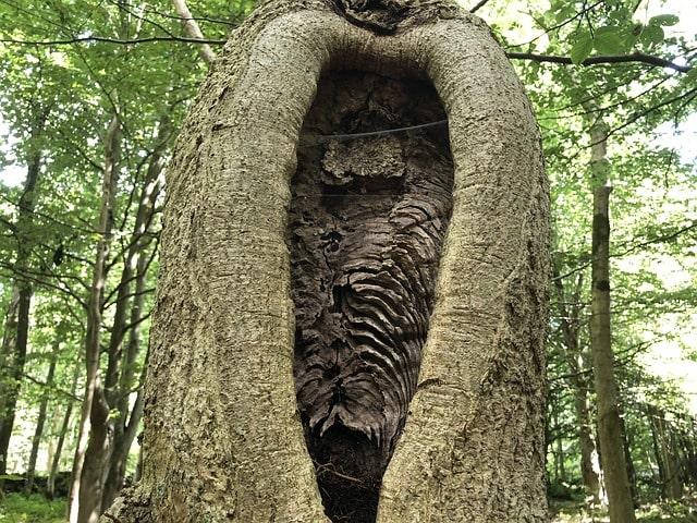 pionowe pęknięcie drzewa spowodowane lodowcem