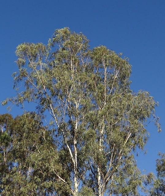 drzewo eukaliptus biały