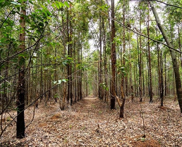 drzewo eukaliptus gałkowy