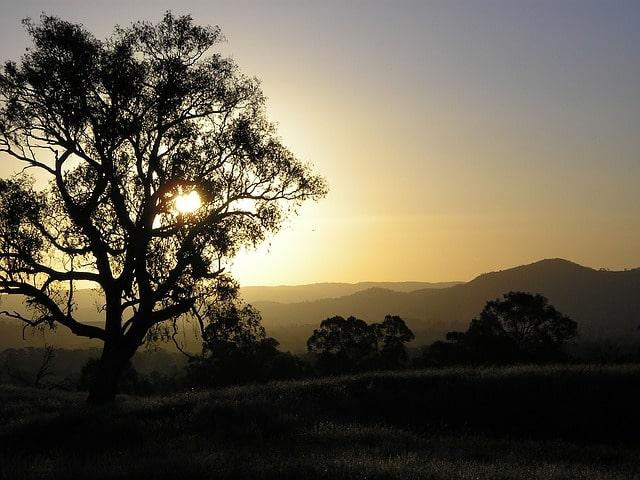 drzewo eukaliptus kamaldulski