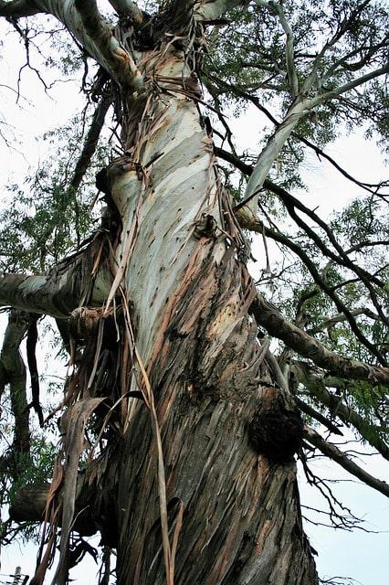 drzewo eukaliptus różnobarwny