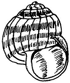 Ślimak winniczek Helix pomatia