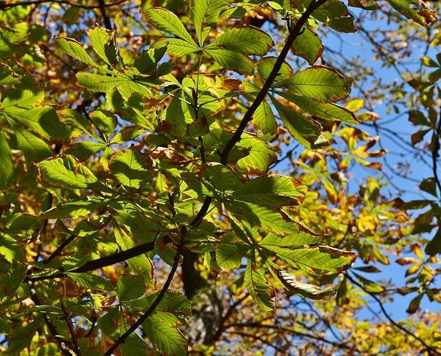 drzewo kasztanowiec