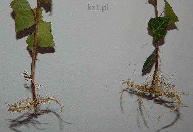 korzenie rośliny bluszcz