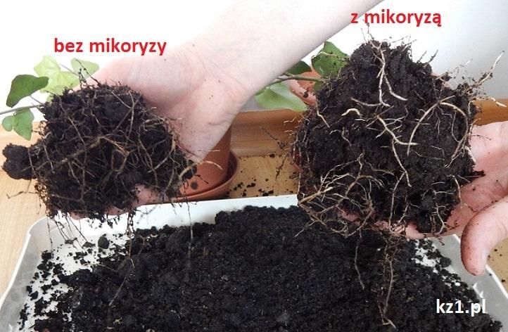 układ korzeniowy rośliny z mikoryzą