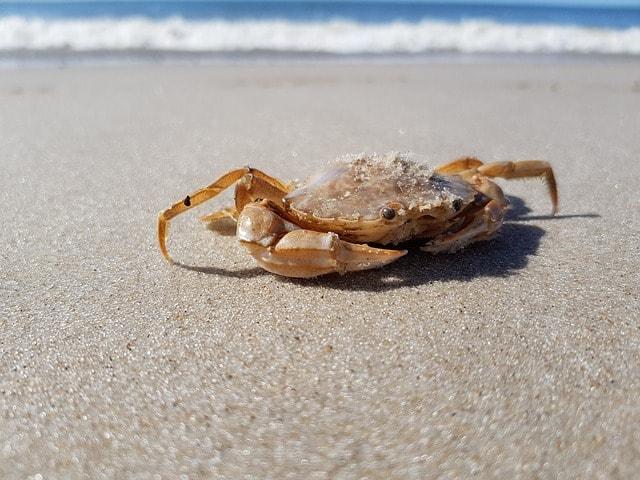 krab brzegowy