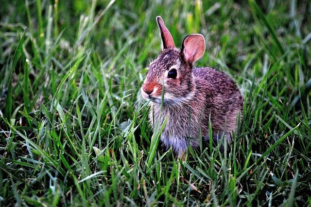 królik w trawie
