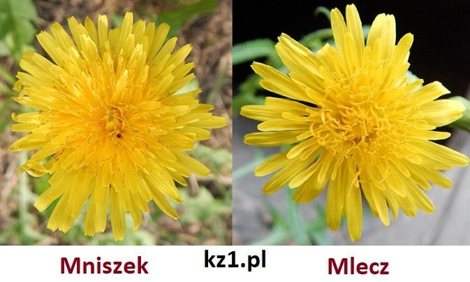 kwiaty mniszka pospolitego i mleczu polnego