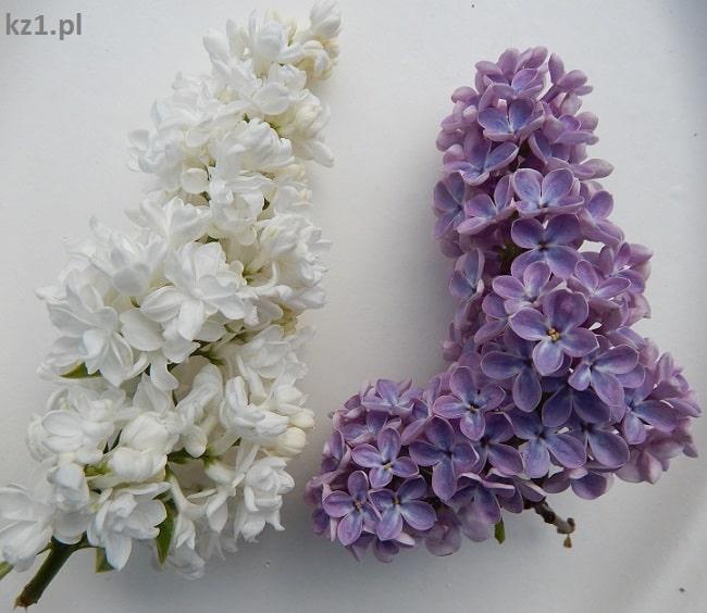 lilak pospolity z białymi i fioletowymi kwiatami
