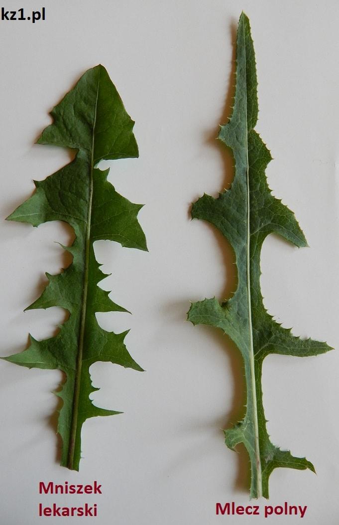 liście mniszka lekarskiego i mleczu polnego