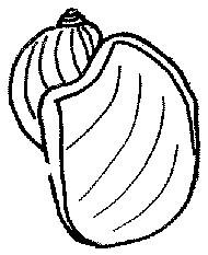 Błotniarka uszata Radix auricularia