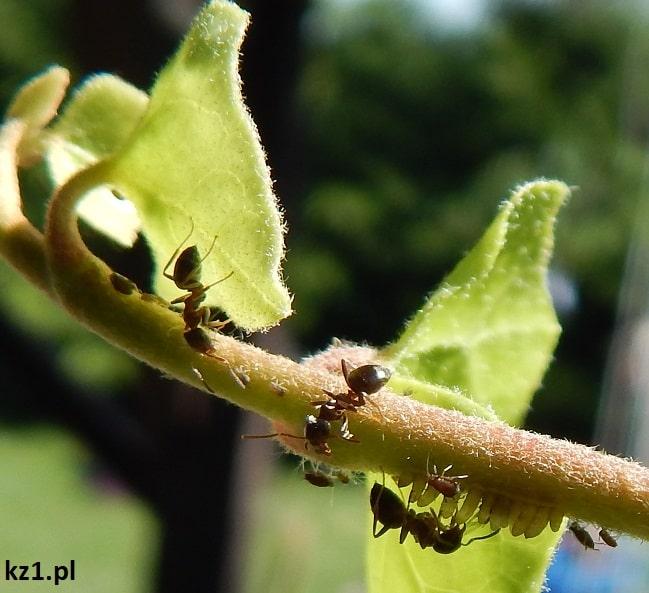 mrówki pilnujące mszyc