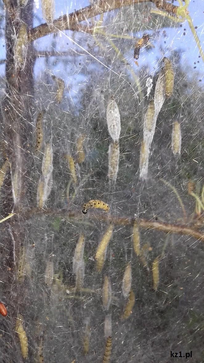 larwy Namiotnika trzmieliniaczka w pajęczynie
