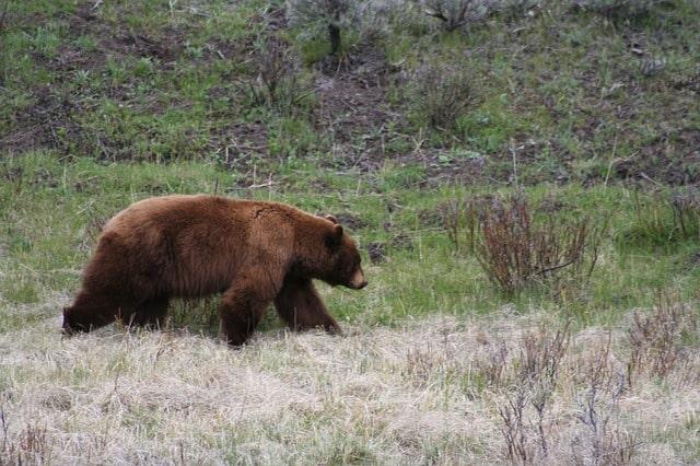 zimowanie niedźwiedź brunatny