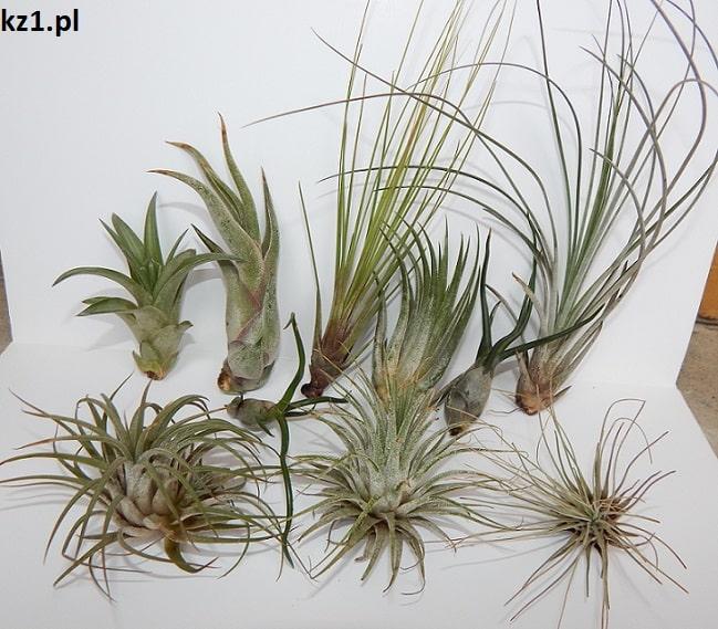 oplątwy powietrzne rośliny