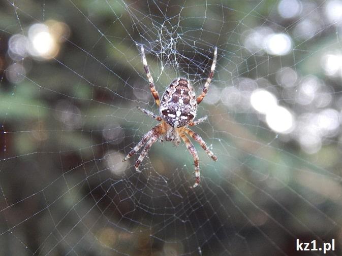 zdjęcie pająka