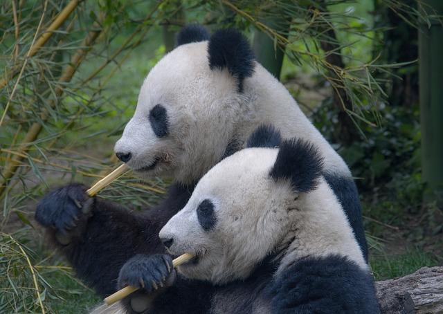 pandy jedzą bambus