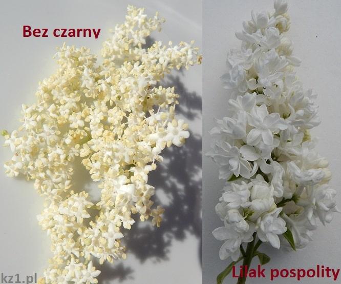 różnica między kwiatami lilaka pospolitego i bzu czarnego