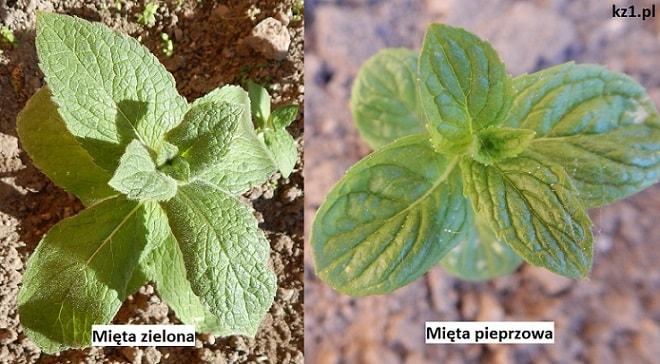 różnica między miętą zieloną a miętą pieprzową