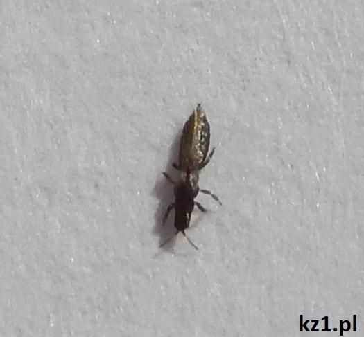 owady przecinki