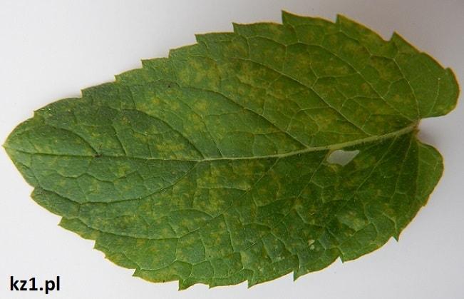 górna strona liścia mięty z rdzą
