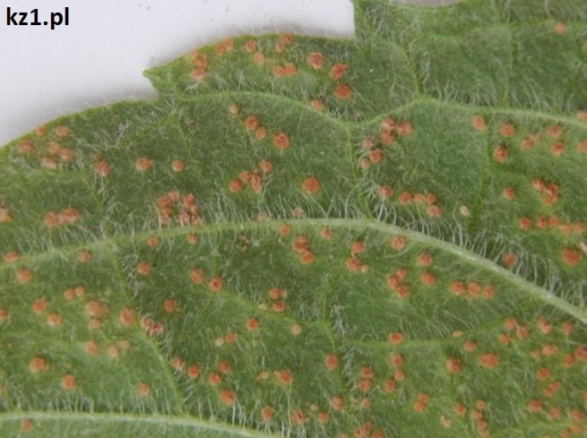 rdza na liściu mięty zielonej