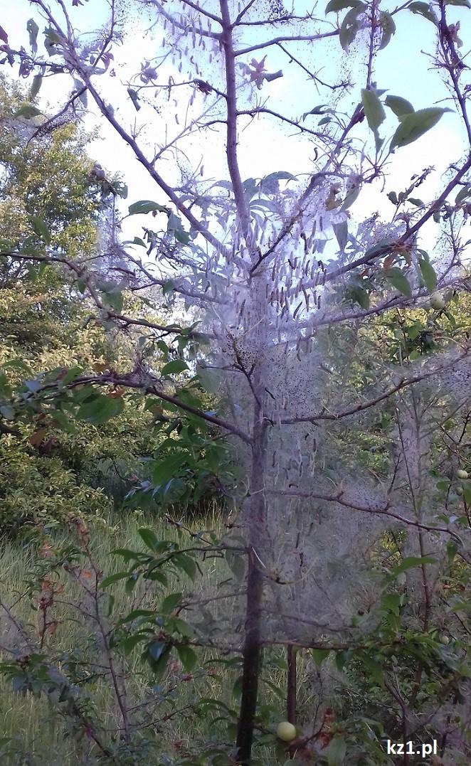 robaki w pajęczynie na drzewie