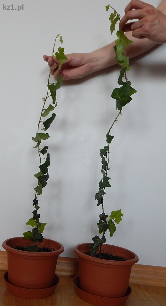 roślina z mikoryzą i bez