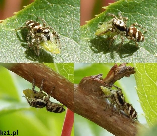 skaczący pająk z ofiarą