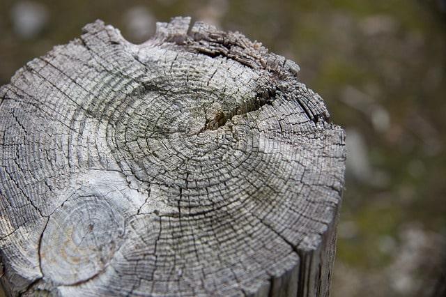 słoje drzewa do obliczania wieku