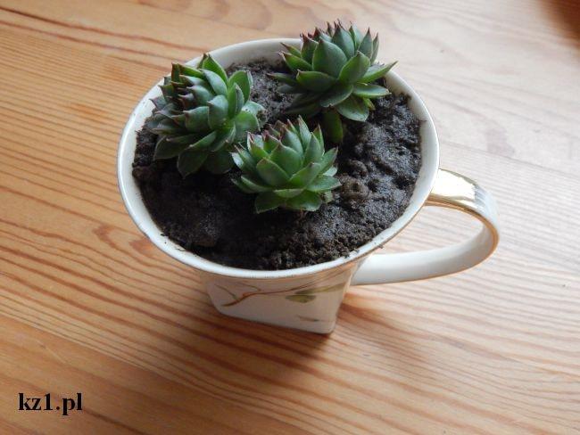 kaktus rojnik w doniczce z filiżanki
