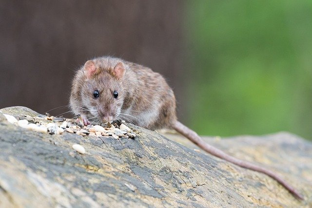 szczur wędrowny
