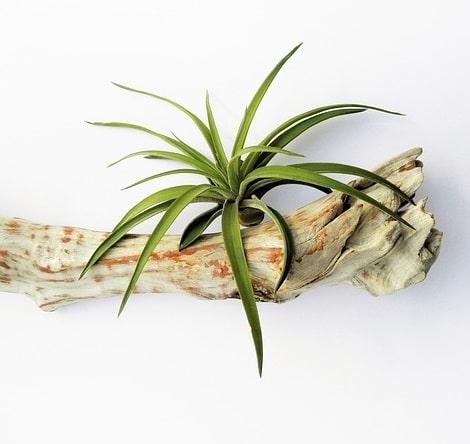 oplątwa Tillandsia Tenuifolia