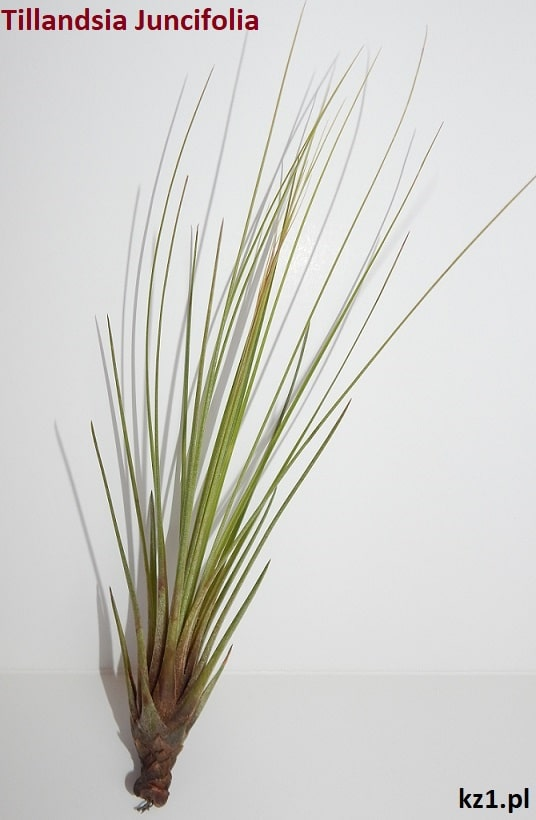oplątwy tillandsia juncifolia