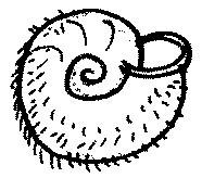owłosiony ślimak trichia hispida
