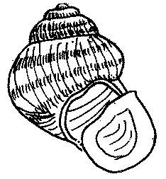 Viviparus subpurpureus