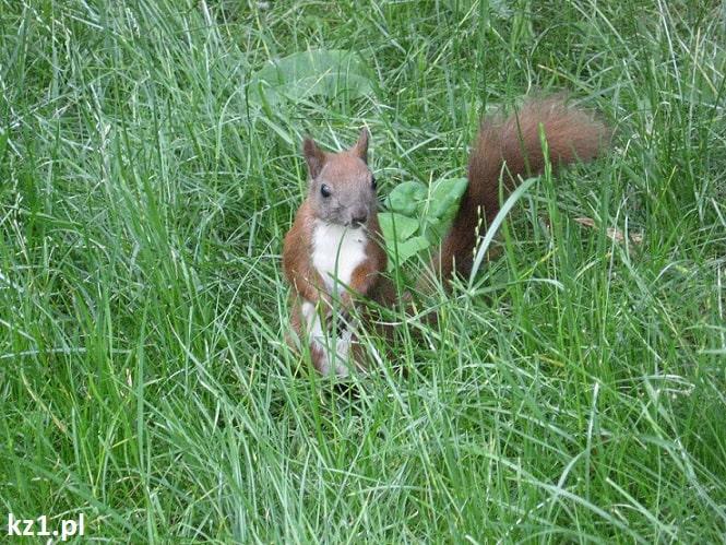 zimowanie wiewiórka
