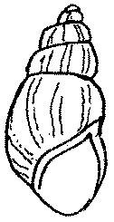 zebrina detrita