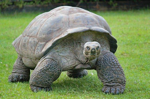 żółw słoniowy żółw olbrzymi